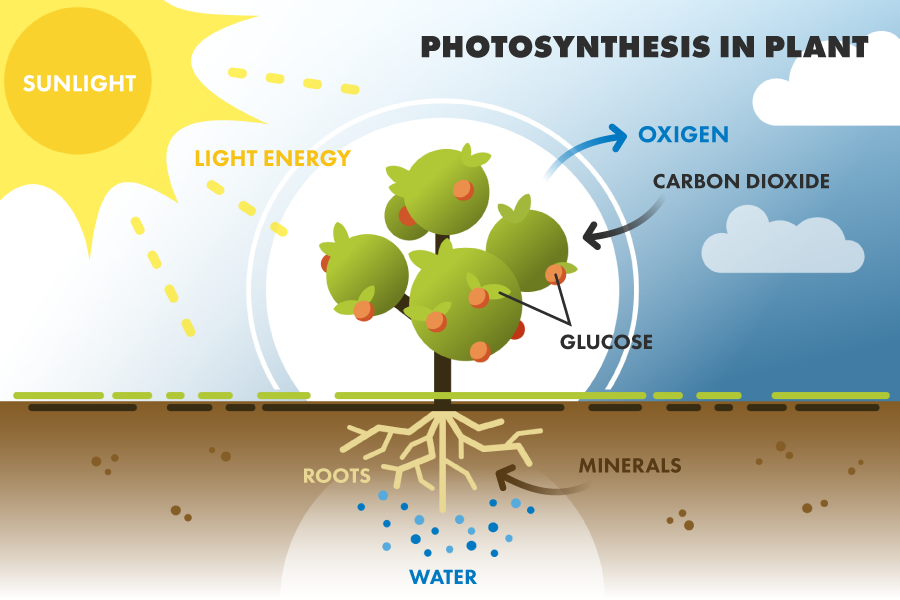 diagrams of photosynthesis
